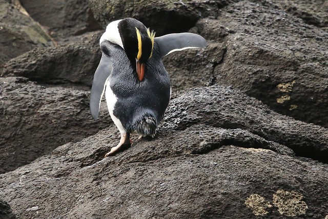 Ugggh! I've Got an Itch!! Erect Crested Penguin  Antipodes Islands Remote New Zealand