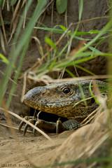 Bengal Monitor Lizard...!