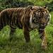 On The Prowl - Sumatran Tiger by philnewton928