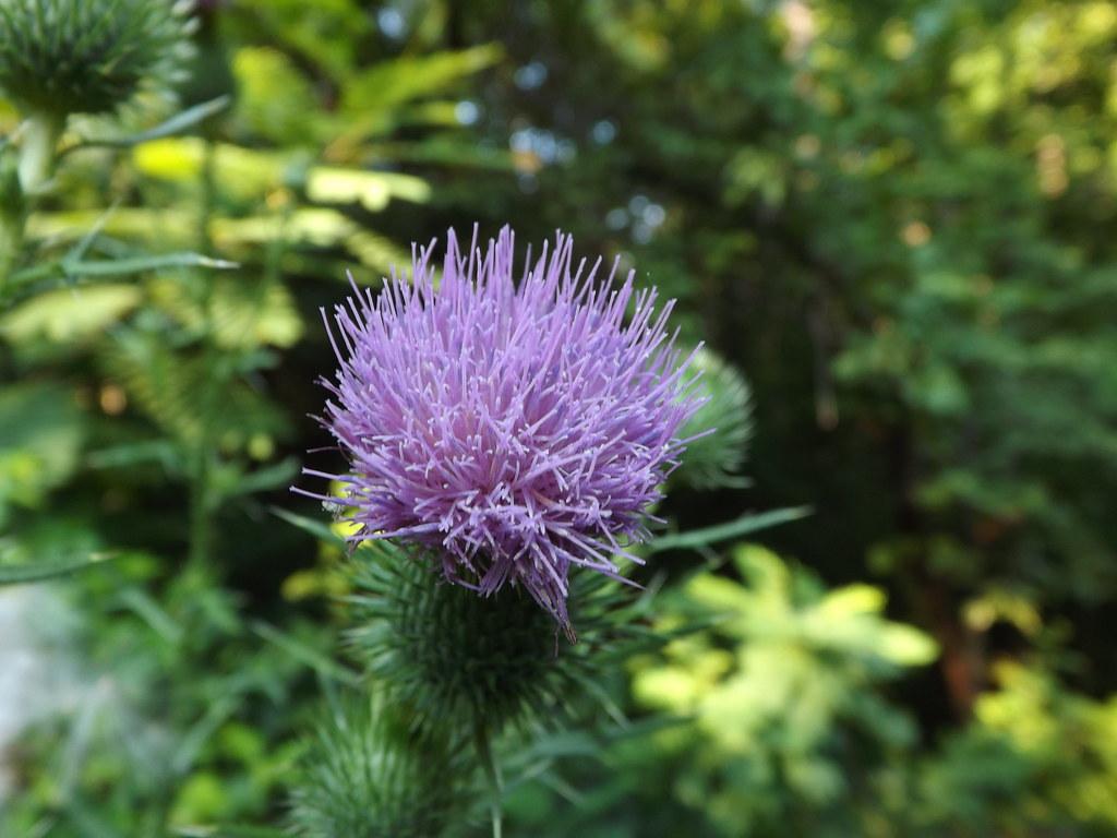 Cirsium Flower