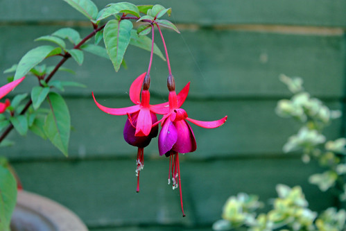 Pair of Fuscia by TonyKRO