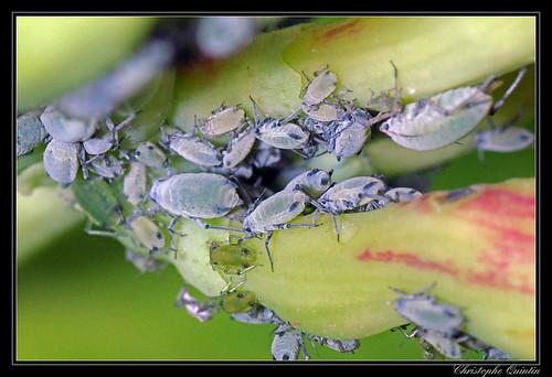 Hyadaphis sp. (H. passerinii or H. foeniculi) on Lonigera