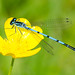 Common Blue Damselfly. by PRA Images