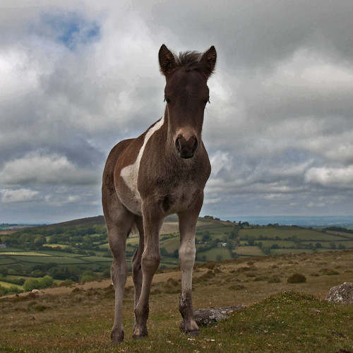 A Foal On Dartmoor