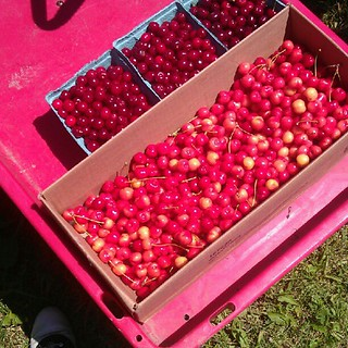 10 pounds of cherries hand picked by me.