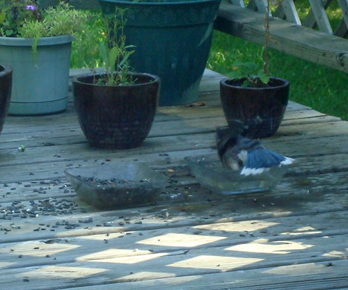 Bathing Blue Jay (4)