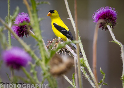 American Goldfinch by Ricky L. Jones Photography