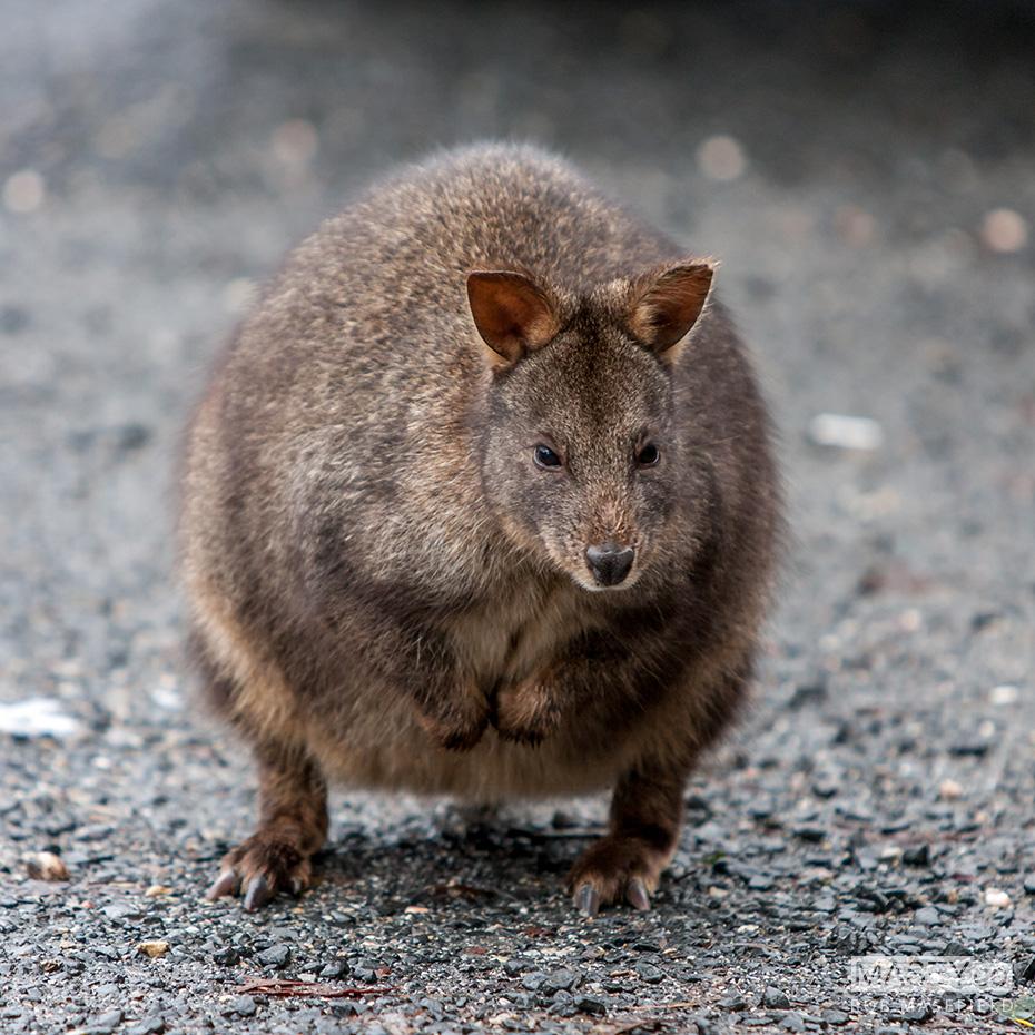 A Tasmanian Pademelon.