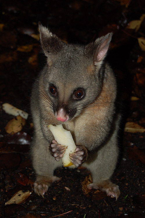 possums_3