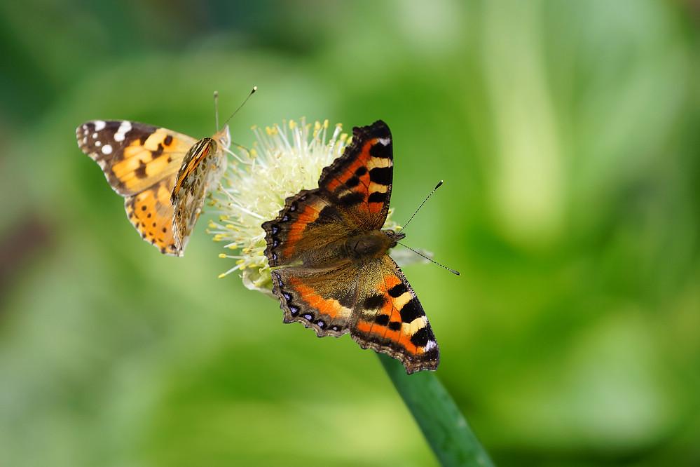 南亞蛺蝶 Aglais kaschmirensis-2