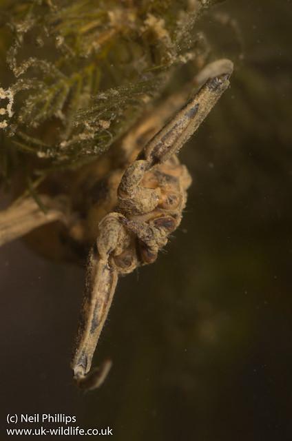 water scorpion-1