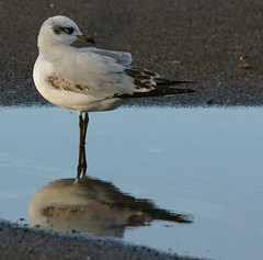 1st winter MED GULL 2 Radipole 271213 by davidearlgray