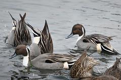 Ducks - Northern Pintail
