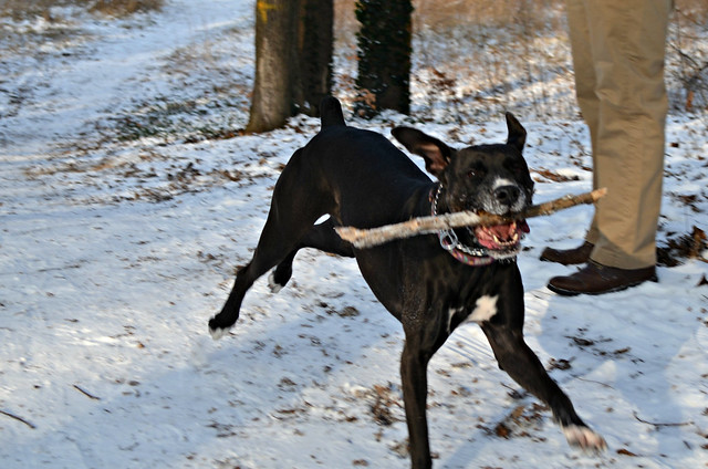Snow day in Pankow Volkspark Schönholzer Heide crazy Bailey dog with stick_cropped