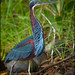 Small photo of Agami Heron (Agamia agami) hunting