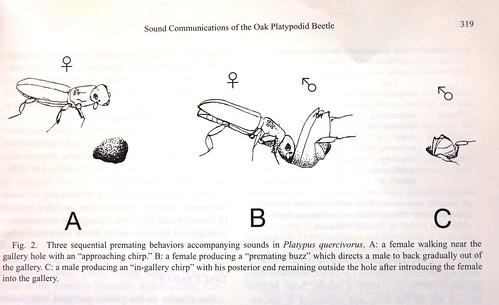 長小蠹蟲的求愛三部曲示意圖。