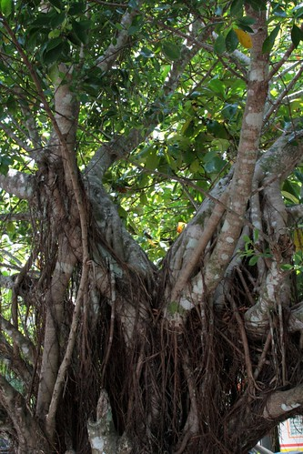 Ficus americana (Moraceae)