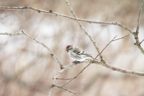 Common redpoll ♀