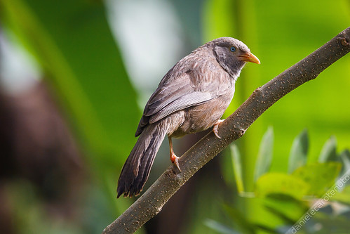 white green bird rain yellow forest jungle srilanka endemic birdwatching sinharaja billed babbler southernprovince