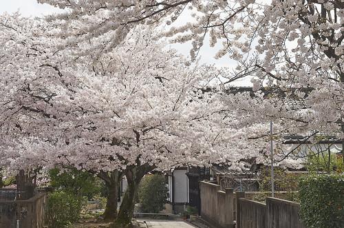 【写真】桜 : 上品蓮台寺