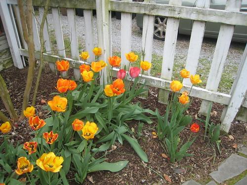 tulips, season 3
