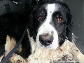 Fri, Apr 18th, 2014 Found Male Dog - Inch, Dingle - Tralee, Kerry