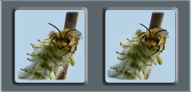 Bee On Willow - Cross-eye 2 3D