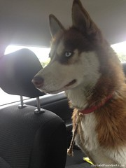 [Reunited Via Other Site] Thu, Apr 17th, 2014 Lost Female Dog - Newcastle, Hazelhatch Road, Dublin