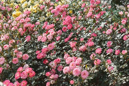 Small roses / 小さなバラの群れ