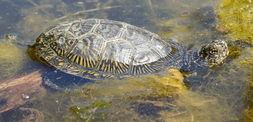 Europäische Sumpfschildkröte - European Pond Turtle - Emys orbicularis