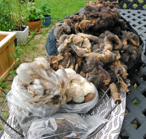 California Variegated Mutant wool fleece for Tour de Fleece 2015