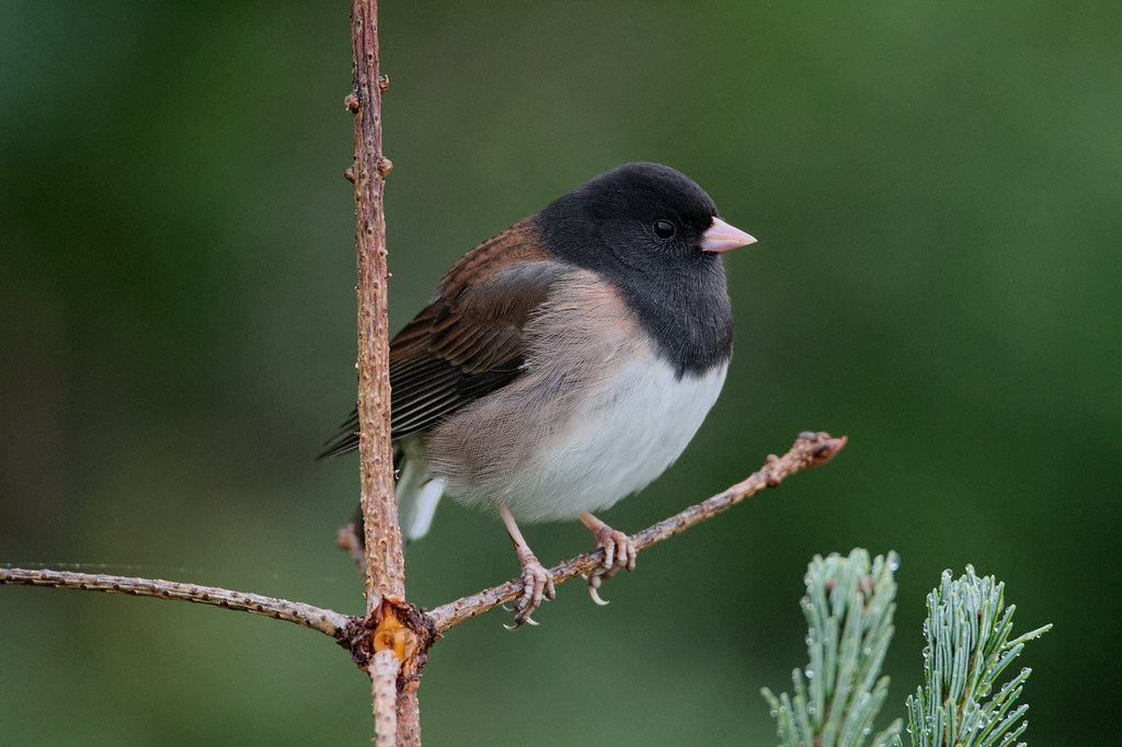 A male dark-eyed junco perches in a subalpine fir in Olympic National Park