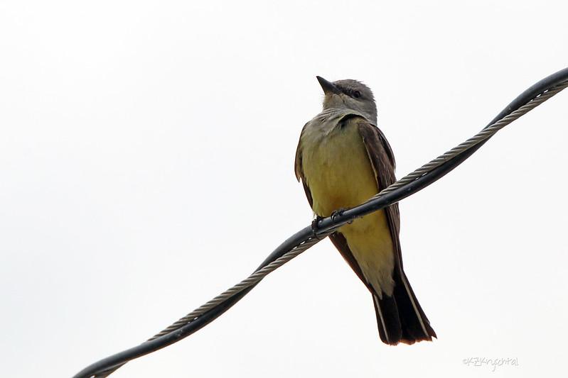 IMG_9778WesternKingbird
