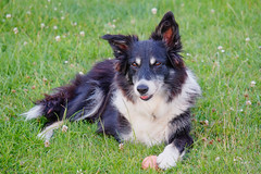 puppy(0.0), miniature australian shepherd(0.0), rough collie(0.0), icelandic sheepdog(0.0), border collie(1.0), dog breed(1.0), animal(1.0), lapponian herder(1.0), dog(1.0), pet(1.0), scotch collie(1.0), collie(1.0), carnivoran(1.0), shetland sheepdog(1.0),