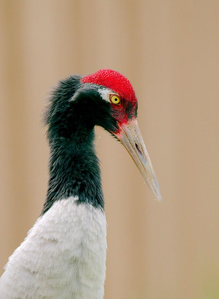 Black-necked Crane (Grus nigricollis)_2