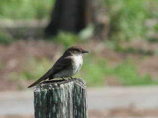 Eastern Phoebe - Missouri by SpeedyJR