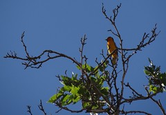 Bullock's oriole in the neighborhood