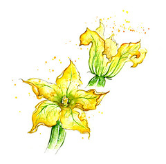 Edible Plants: Courgette flowers