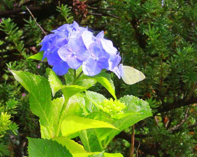 Hydrangea & butterfly