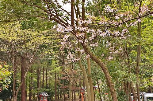 【写真】2013 桜 : 大原野神社/2021-01-15/IMGP0058