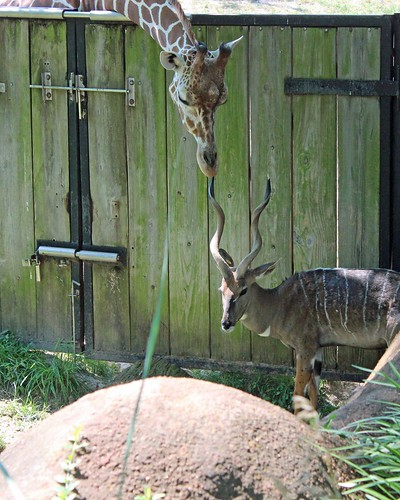 Zoo 6 - Giraffe