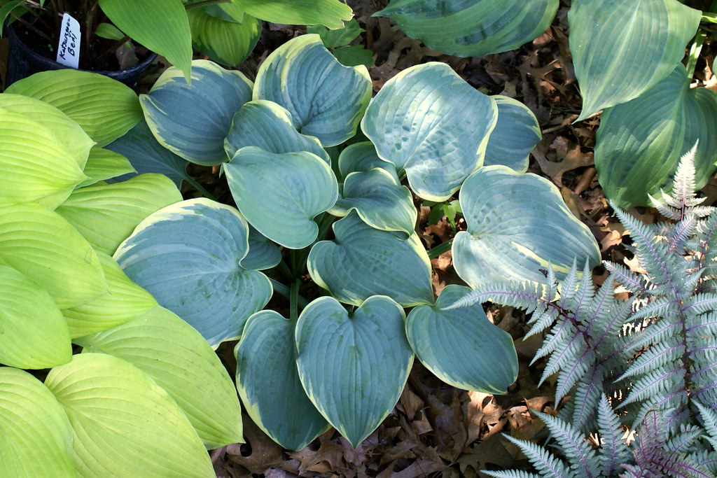 Hosta 'Blue Flame' (11)-002