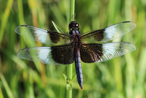 IMG_0554_Widow_Skimmer_Dragonfly