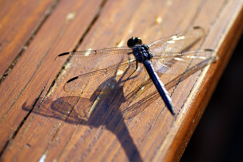 [115/365] Chasing Dragonflies