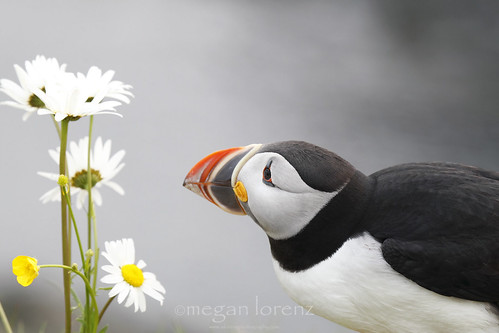 The Romantic Puffin
