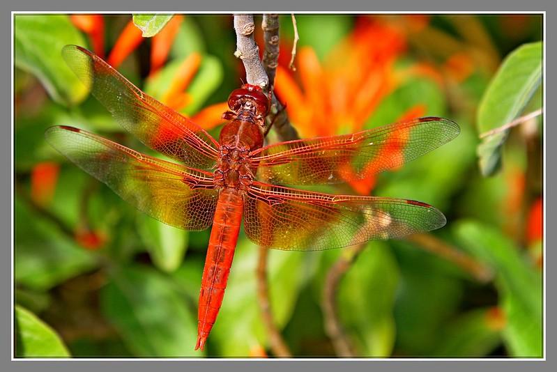 红蜻蜓_图1-7