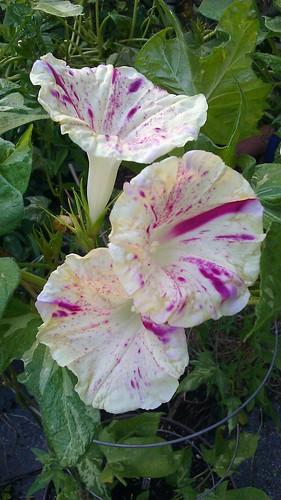 Ipomoea nil Fujie's Red Speckles by Gerris2
