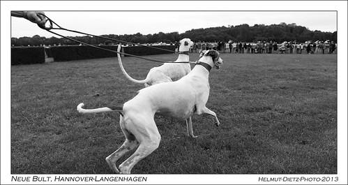 Greyhounds Scagerac & Gregory auf der Galopprennbahn Neue Bult, Hannover-Langenhagen