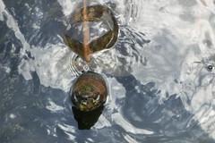 Schildkröte - Penang