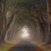 Cypress Tunnel, Mist, Deer, Point Reyes, #311 by andertho